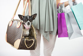 Black and White Chihuahua in Designer Hand Bag Held By Shopper
