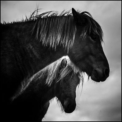 Side by side, Wild horse in Iceland 2015 © Laurent Baheux