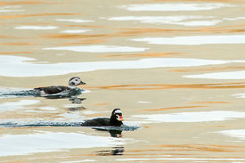 November - Surf Scoter and Long-tailed Duck
