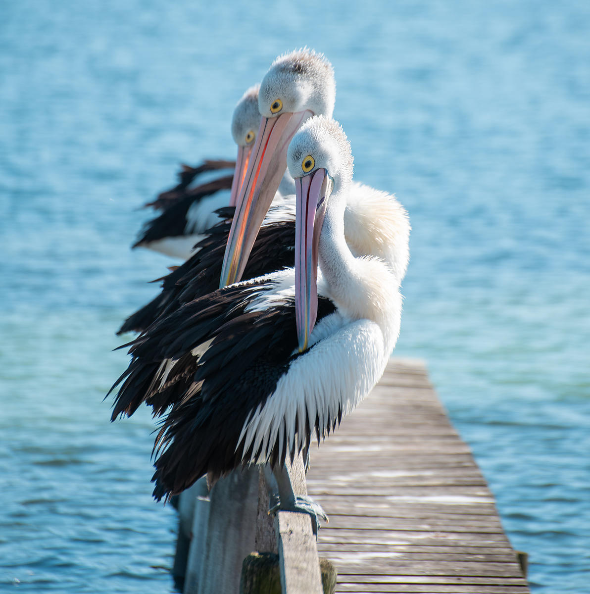 These pelicans are often seen sitting and preening themselves on a jetty in Merimbula, New South Wales, Australia. They are f...
