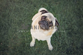 young Pug sitting in grass outside looking up with head tilt