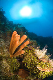 Sponges on wall at The Anchor divesite, West Caicos, Turks & Caicos Islands