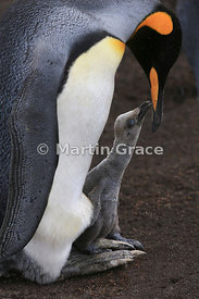 King Penguin chick (Aptenodytes patagonicus) soliciting food from its parent, Volunteer Point, East Falkland, Falkland Islands