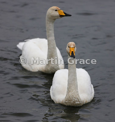 Pair of Whooper Swans (Cygnus cygnus), Dumfries & Galloway, Scotland