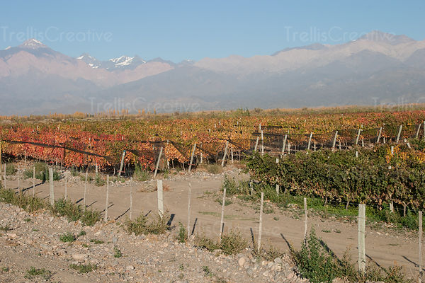Andes Mountains loom over vineyard in Mendoza, Argentina, Mountain range with snowcaps in background; vineyard in autumn next...