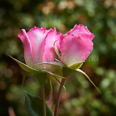 Seduction floribunda rose flower buds