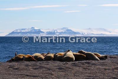 Walrus (Obodenus rosmarus) on the shore at Torellneset, Nordaustlandet, Svalbard