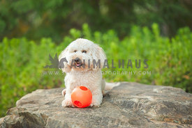 small doodle lying down on rock with orange ball
