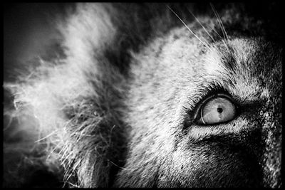 5538-Lion_looking_to_the_sky_Laurent_Baheux