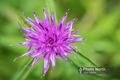 KNAPWEED 10A - Common knapweed
