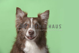 Older red and white Border collie smiling in studio against green background