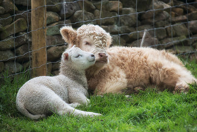 Best Buddies - Two Farmyard Orphans - Both mothers died and these two became totally inseparable , so much so the farmer deci...