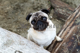 pug looking forward standing on driftwood at beach