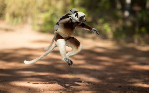 Leaping Coquerel's Sifakas, AnjajavyLea