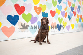 chocolate lab sitting in front of a wall of colorful painted hearts