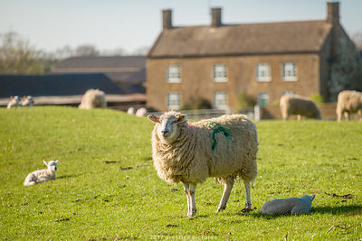 Ewe standing in field with newborn lambs nearby and old stone farmhouse in the distance