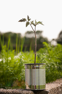 Germany, North Rhine Westphalia, Close up of tomato plant in tin can at vegetable garden
