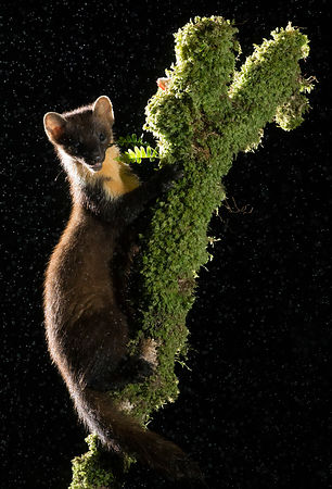 Pine Marten at night