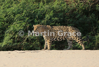 Male Jaguar 'Hero' (Panthera onca) stands and observes from the top of the beach, Three Brothers River, Northern Pantanal, Ma...