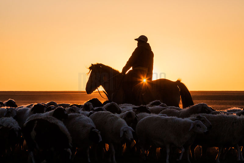Herder Rounding Up Sheep on the Mongolian Steppe at Sunrise.