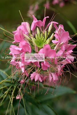 Cleome spinosa 'Reine Rose' (fleur araignée), Spider flower, Synonyme Cleome hassleriana, Cleome pungens, Brassicaceae, Cappa...