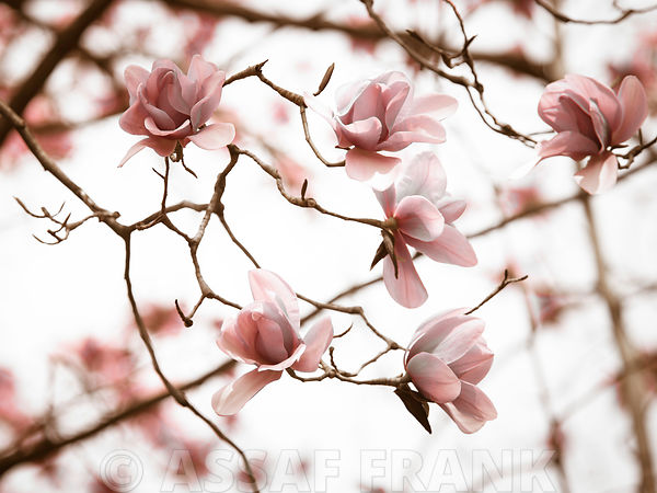 Branch of Magnolia flowers