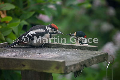 Male Great Spotted Woodpecker (Dendrocopus major) (right) feeding a juvenile on a garden bird table, Cumbria, England: Image ...