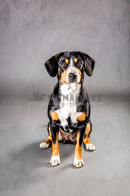 entlebucher Mountain Dog standing in studio with neutral grey background