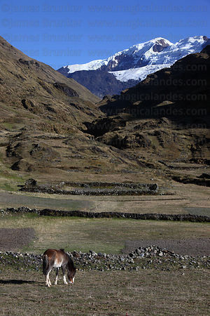 Horse grazing in valley below snowy peaks, Cordillera Apolobamba , Bolivia