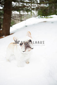 french bulldog or frenchie standing in snow in backyard
