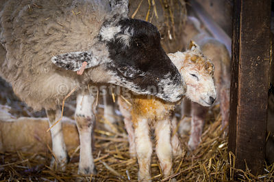 Ewe cleaning her newborn lamb as she stands next to her