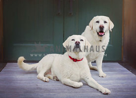 two yellow Labrador dogs painterly style posing on outdoor porch