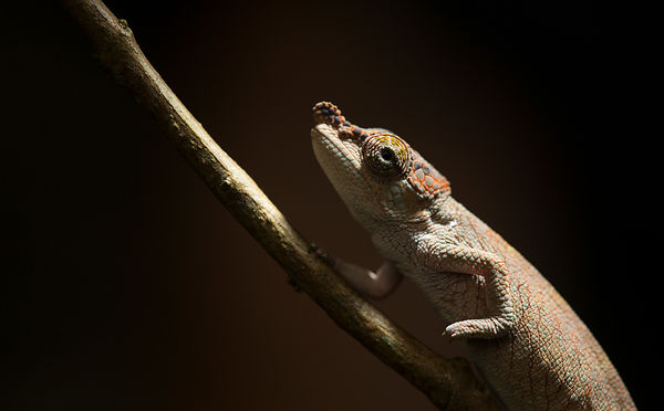A tiny Nose Horned Chameleon in Ranomfana