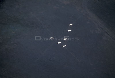 Whooping cranes fly over Canada. (Grus americana) Saskatchewan