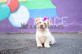 shih tzu with rainbow colored mohawk sitting in front of colorful painted wall