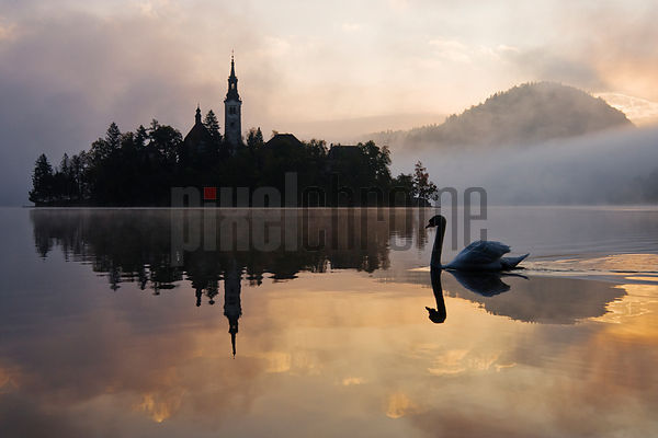 Mute Swan Swimming By Church of the Assumption at Dawn, Lake Bled, Slovenia