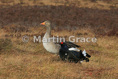 A male Black Grouse (Lyrurus (Tetrao) tetrix) on the lek is dwarfed by a Greylag Goose (Anser anser) that has just flown in, ...