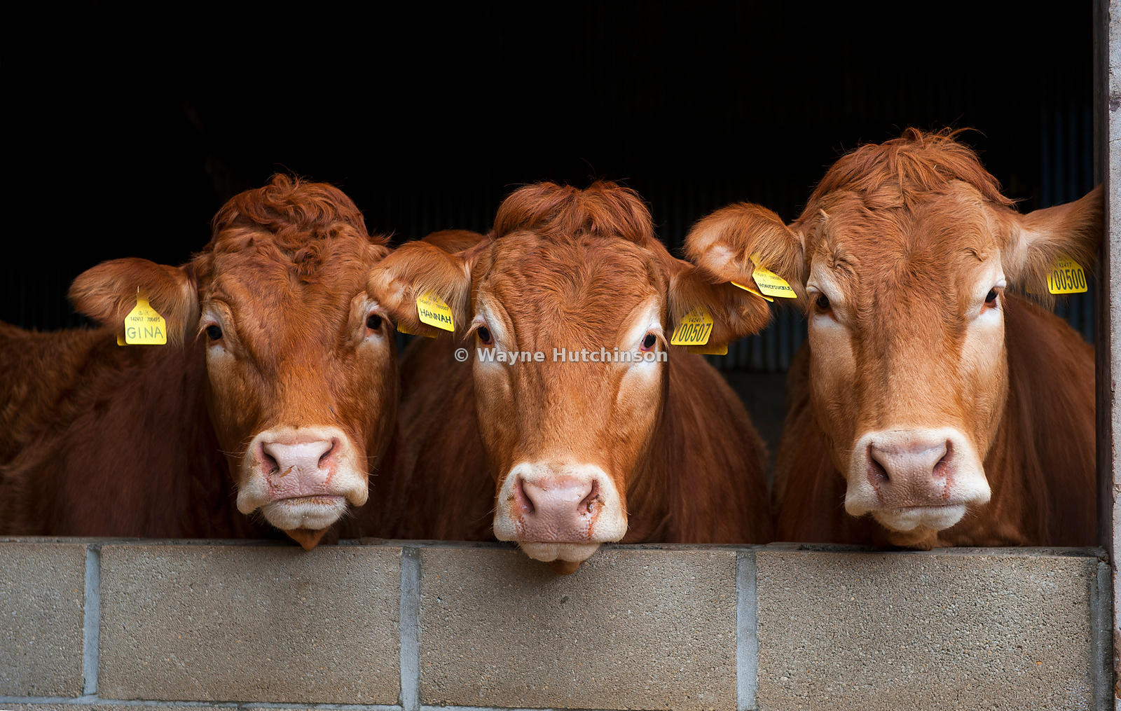 Limousin beef cows looking over a wall, Yorkshire, UK