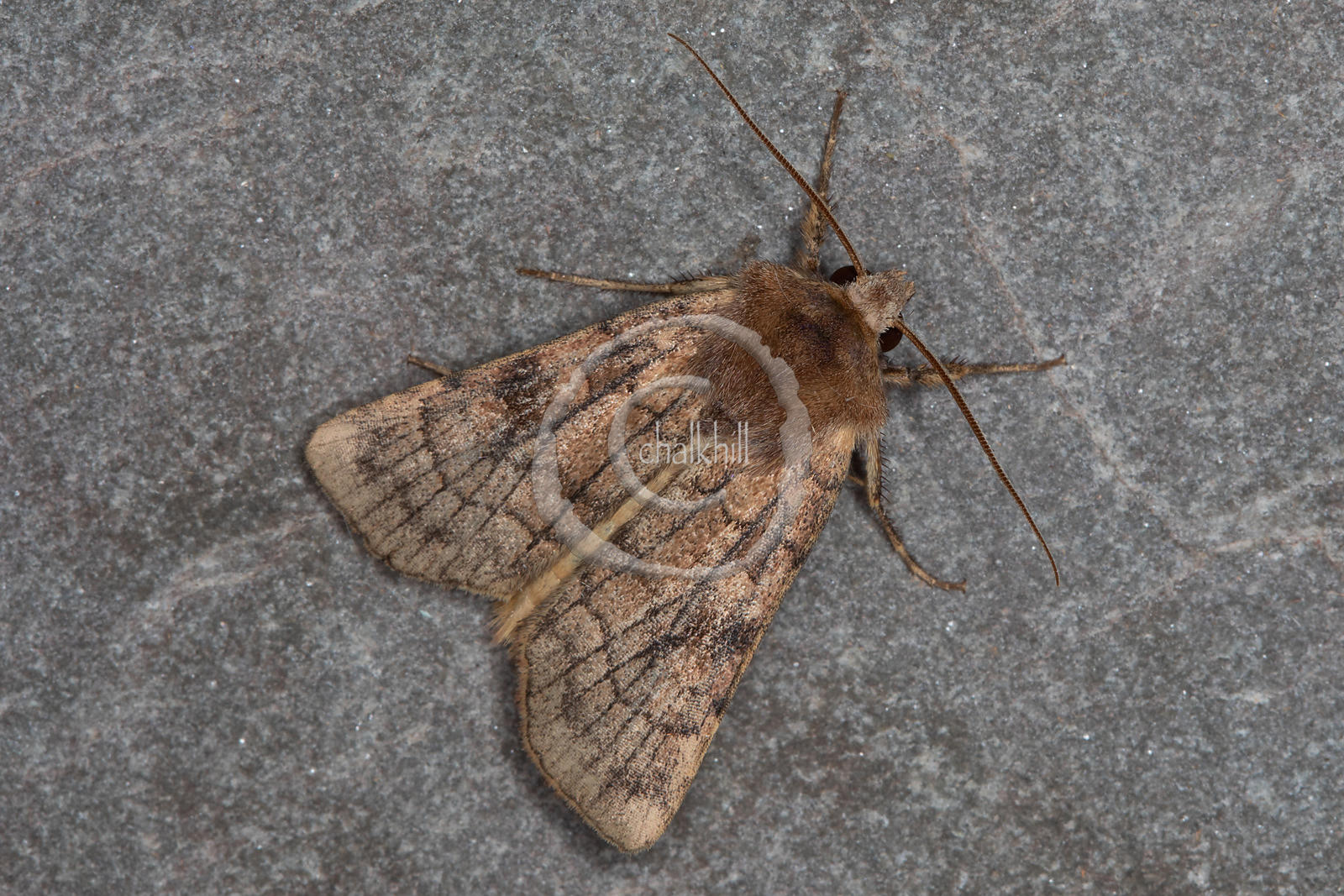 [Xestia sexstrigata [73.358] Six-striped Rustic]-[GBR-Flatford Mill]