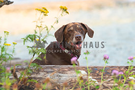 older chocolate lab with gray face sitting behind log and wildflowers