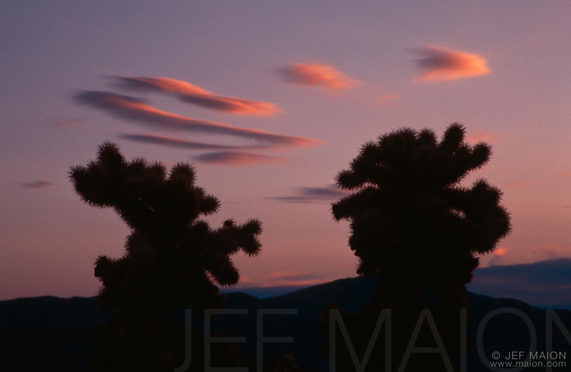 Cholla cacti and red clouds at sunrise