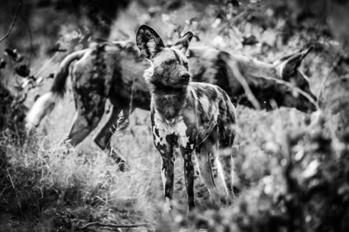 1200-Two_Wild_Dogs_in_the_grass_Botswana_2009_Laurent_Baheux
