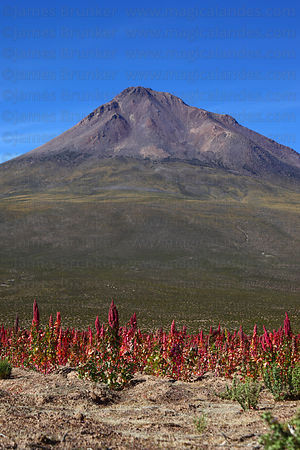 Field of red quinoa plants ( Chenopodium quinoa ) growing on altiplano and Cariquima volcano, Region I, Chile