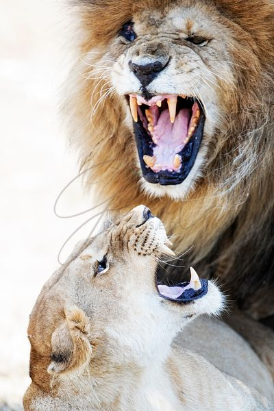 Lion and Lioness Snarling at Each Other
