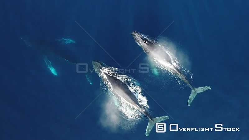 Aerial view of four Humpback whales (Megaptera novaeangliae) at surface, blowing then submerging, Gorda Banks, Baja California, Mexico, 2017.