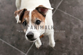 curious senior jack russell inside with natural light
