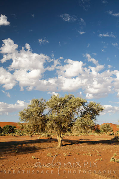 Trees at Sossusvlei