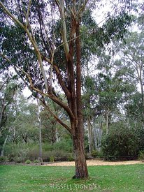 Eucalyptus pyrocarpa, Large Fruited Blackbutt