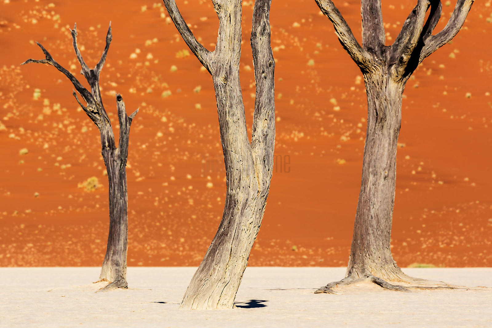 Dead Trees Against a Dune Background
