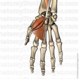 hand-thumb-muscles-musculus-abductor-pollicis-brevis-flexor-pollicis-brevis-flexor-pollicis-longus-tendon-adductor-pollicis-opponens-pollicis-muscle